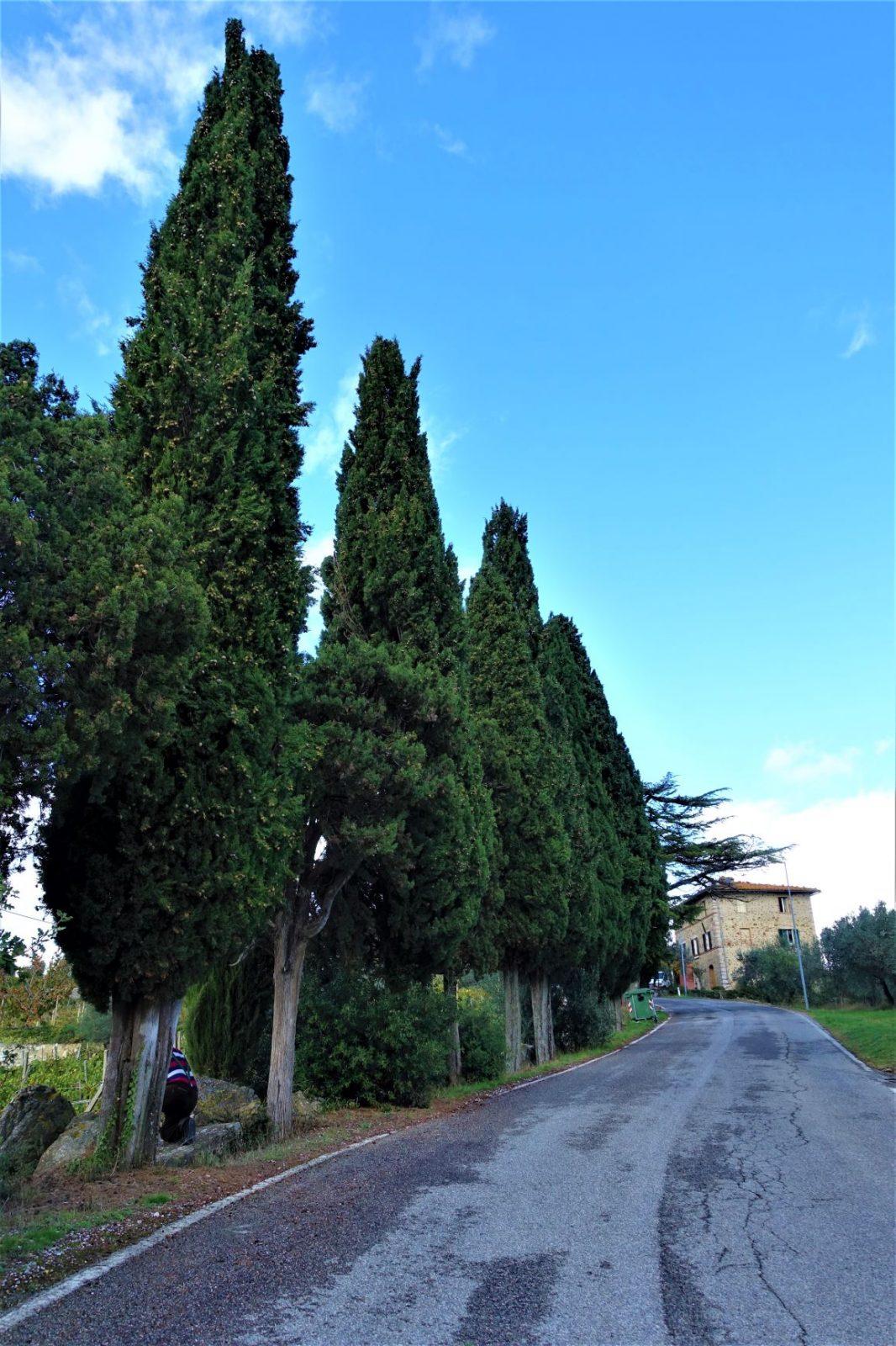 Vakre trær i Toscana