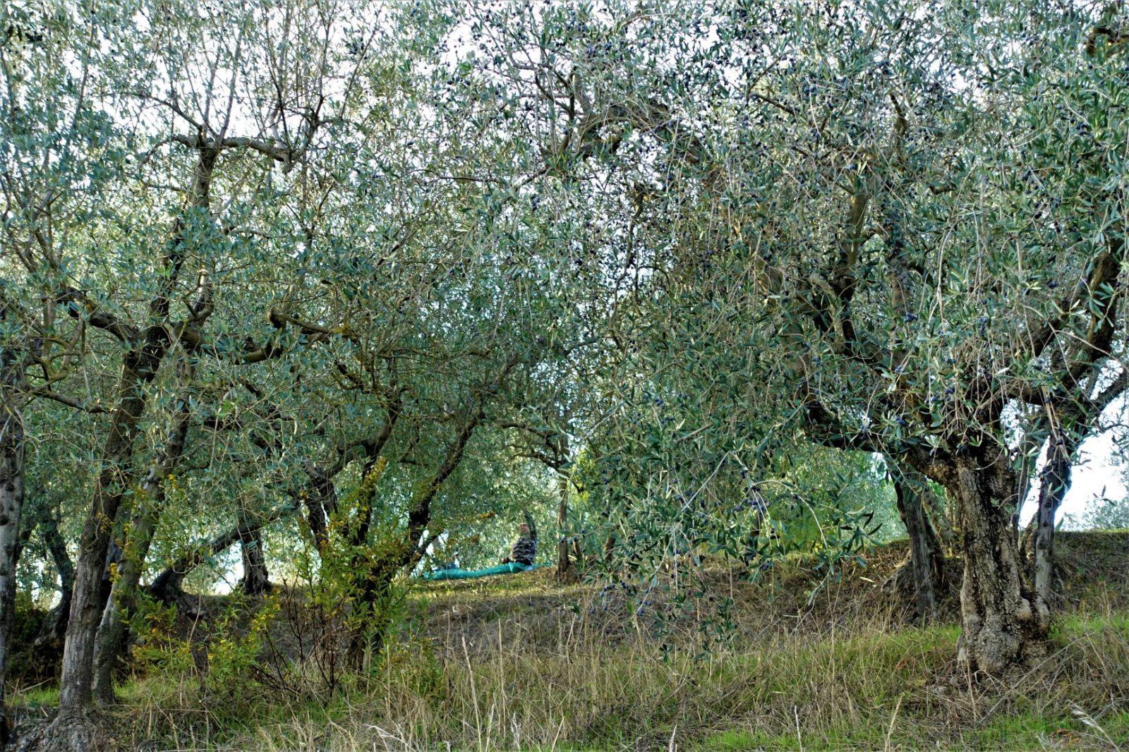 Olivenlunder i Toscana