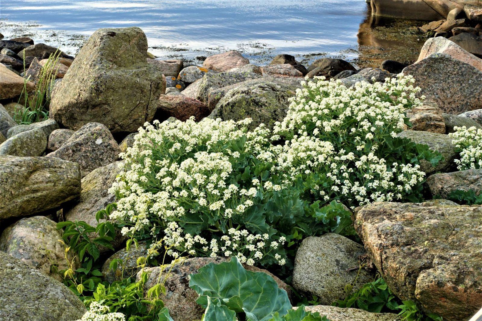 blomster Bohuslän