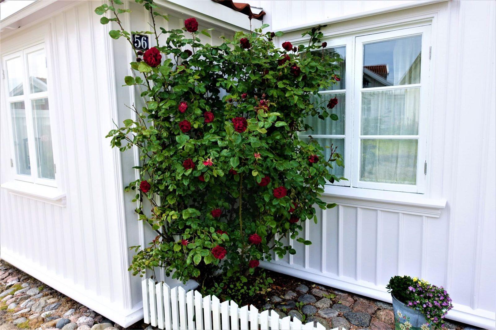 Klatreroser på Käringö Bohuslän svenske skjærgården