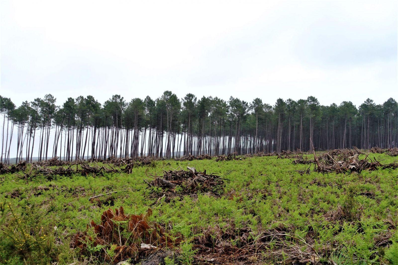 plantet skog i frankrike