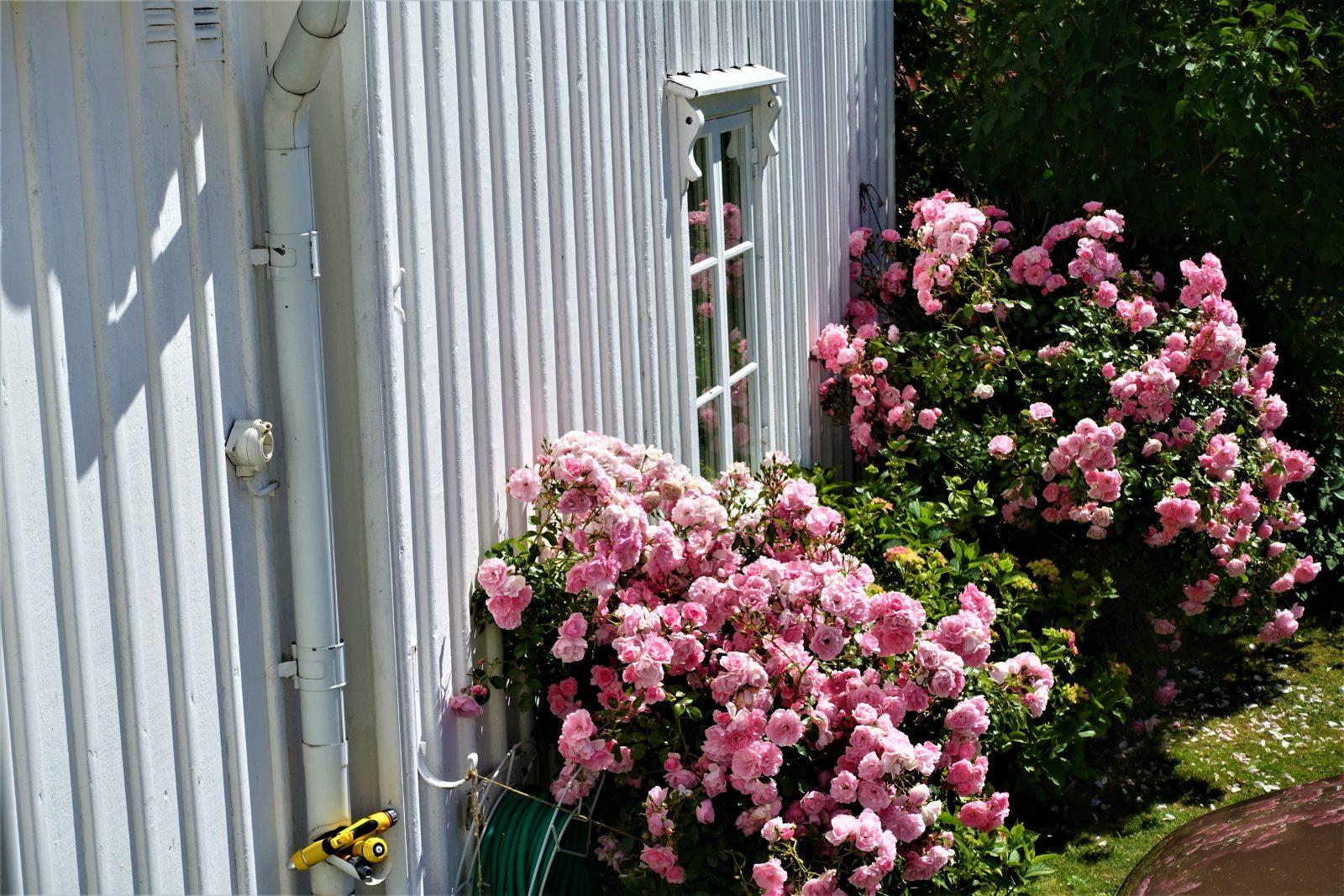 fantastiske rosa roser i Fiskebäckskil
