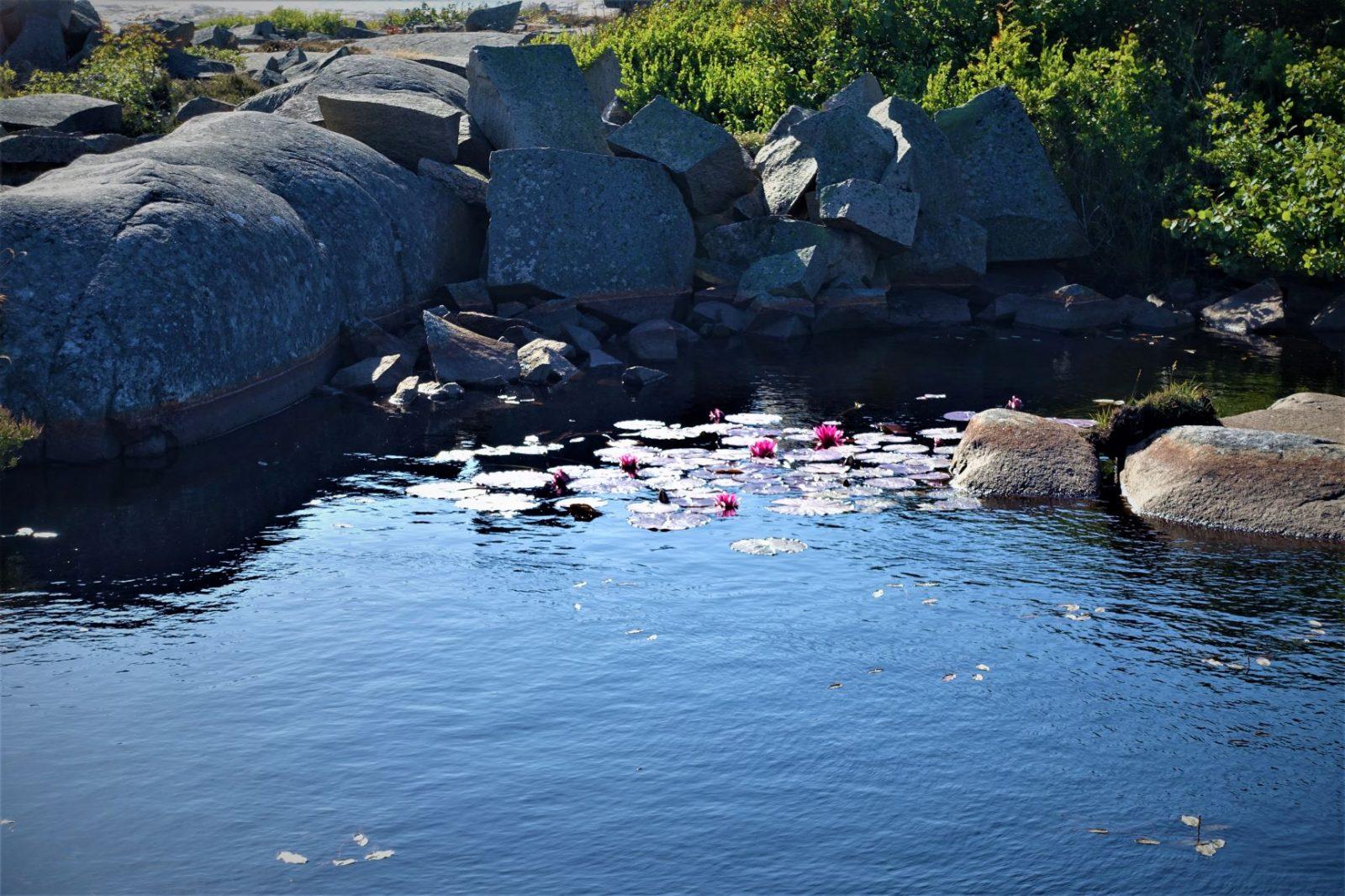 vannliljer i dam på bohus malmøn