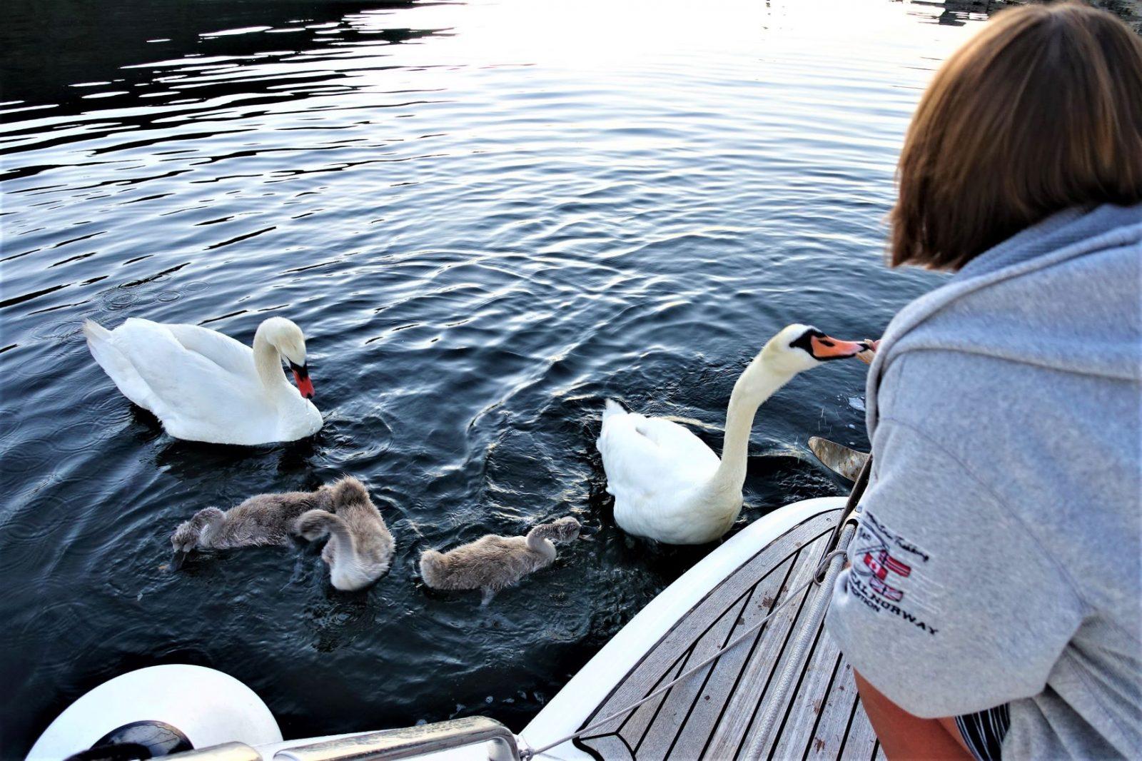 Svanefamilie på badeplattformen på båten