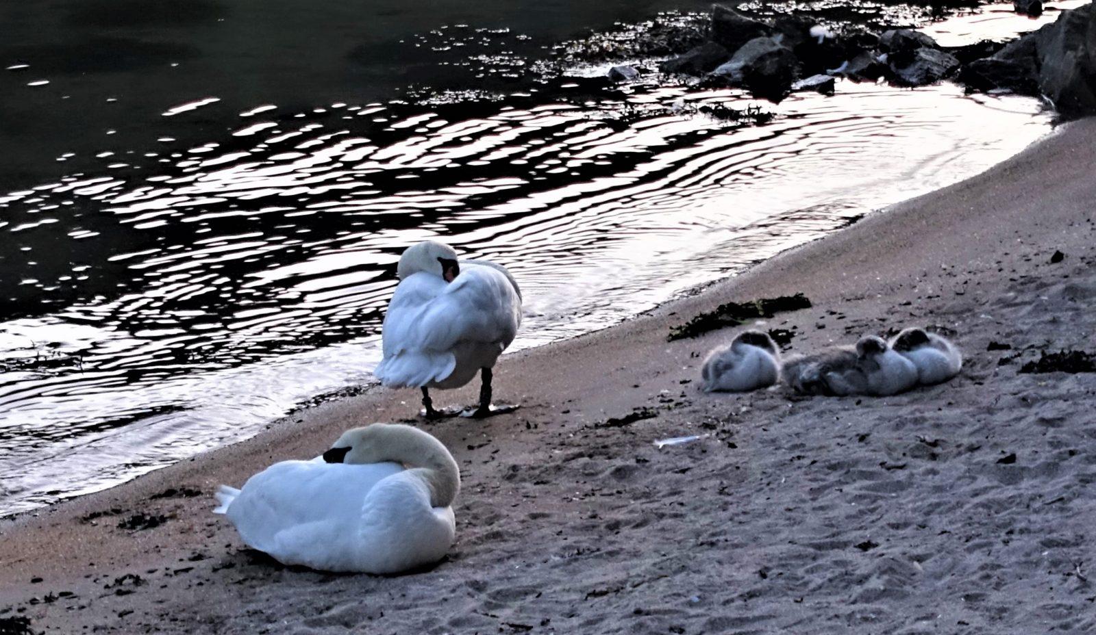 Svanefamilie på stranden oscarsborg