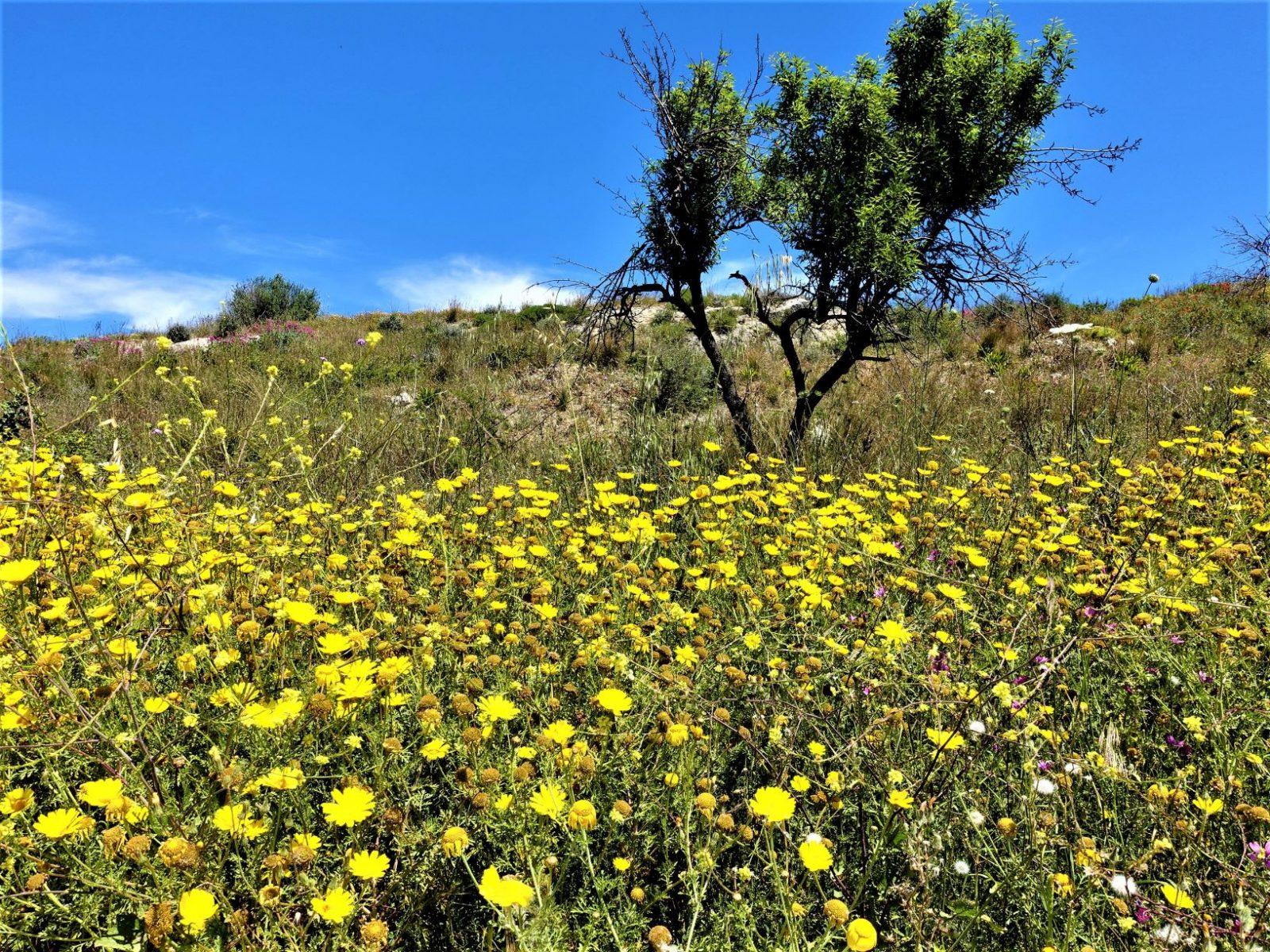 gule blomster Sicilia