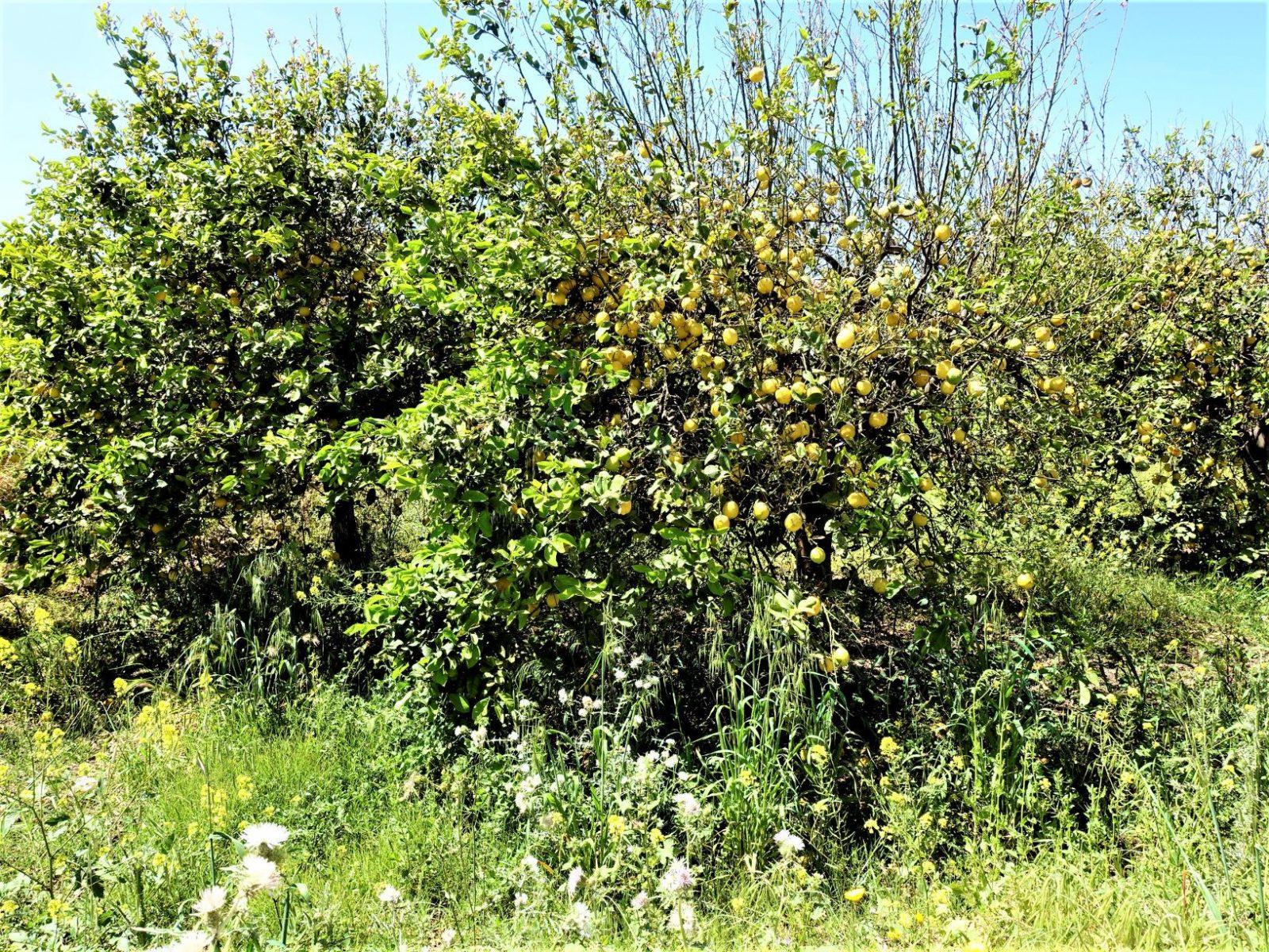 Appelsintrær og sitrontrær Sicilia