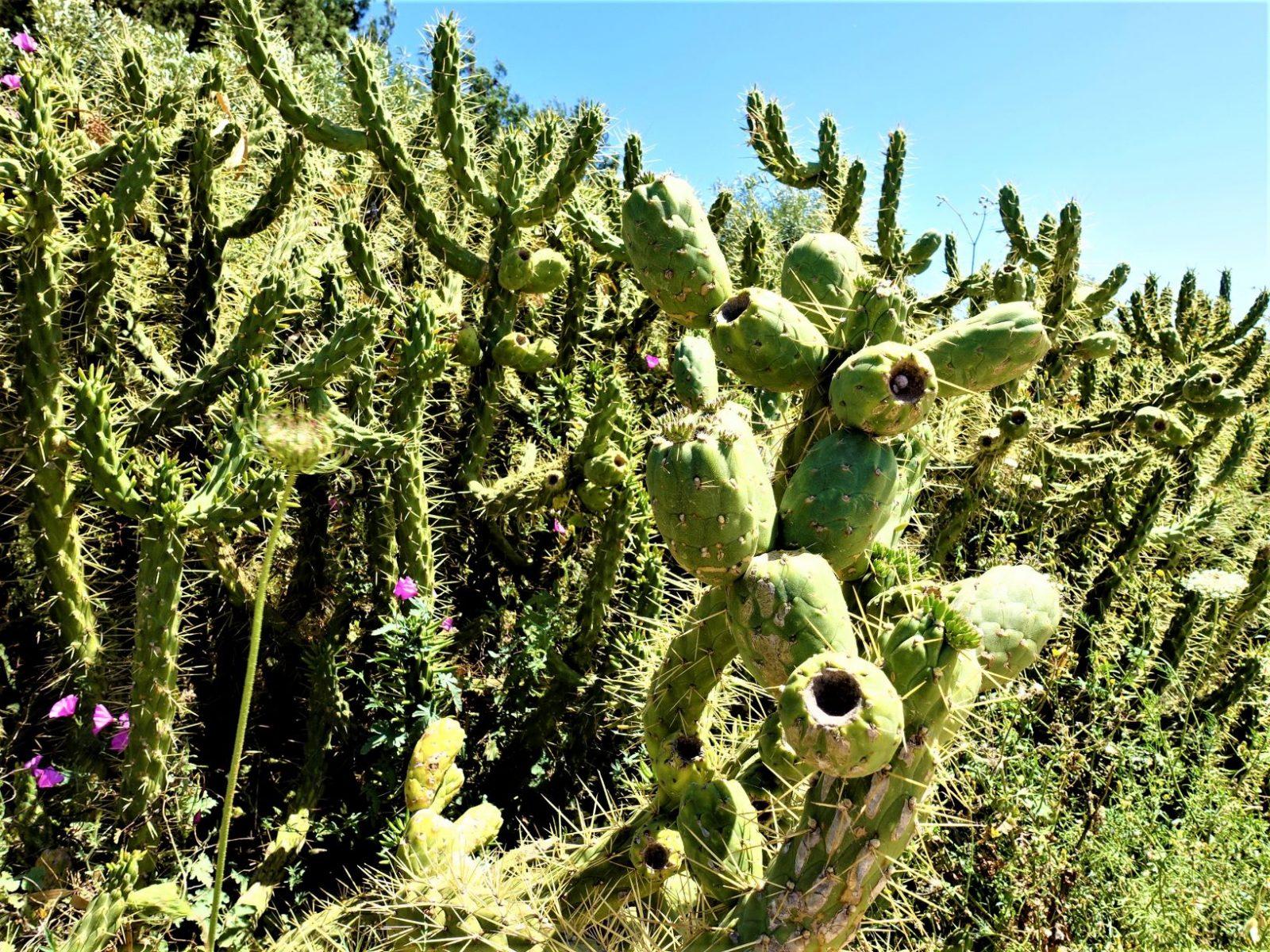 kaktusskog Sicilia
