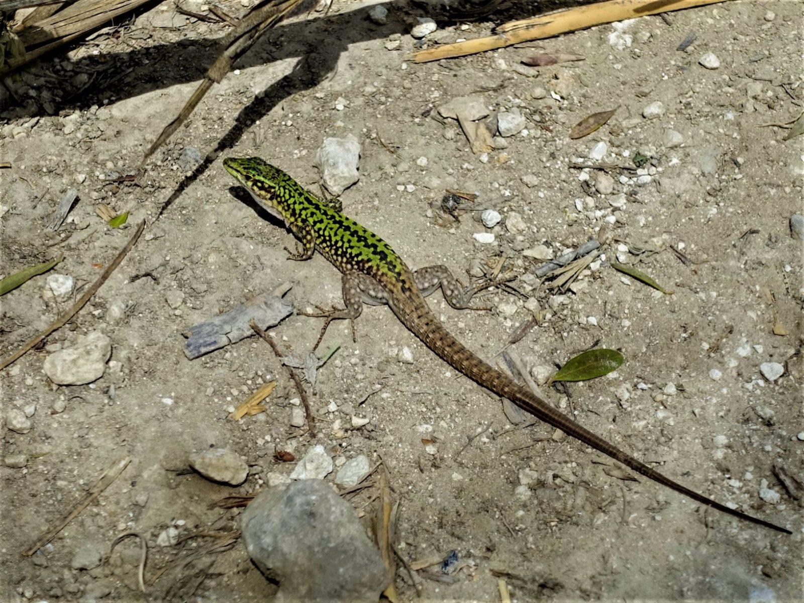 salamander på Sicilia