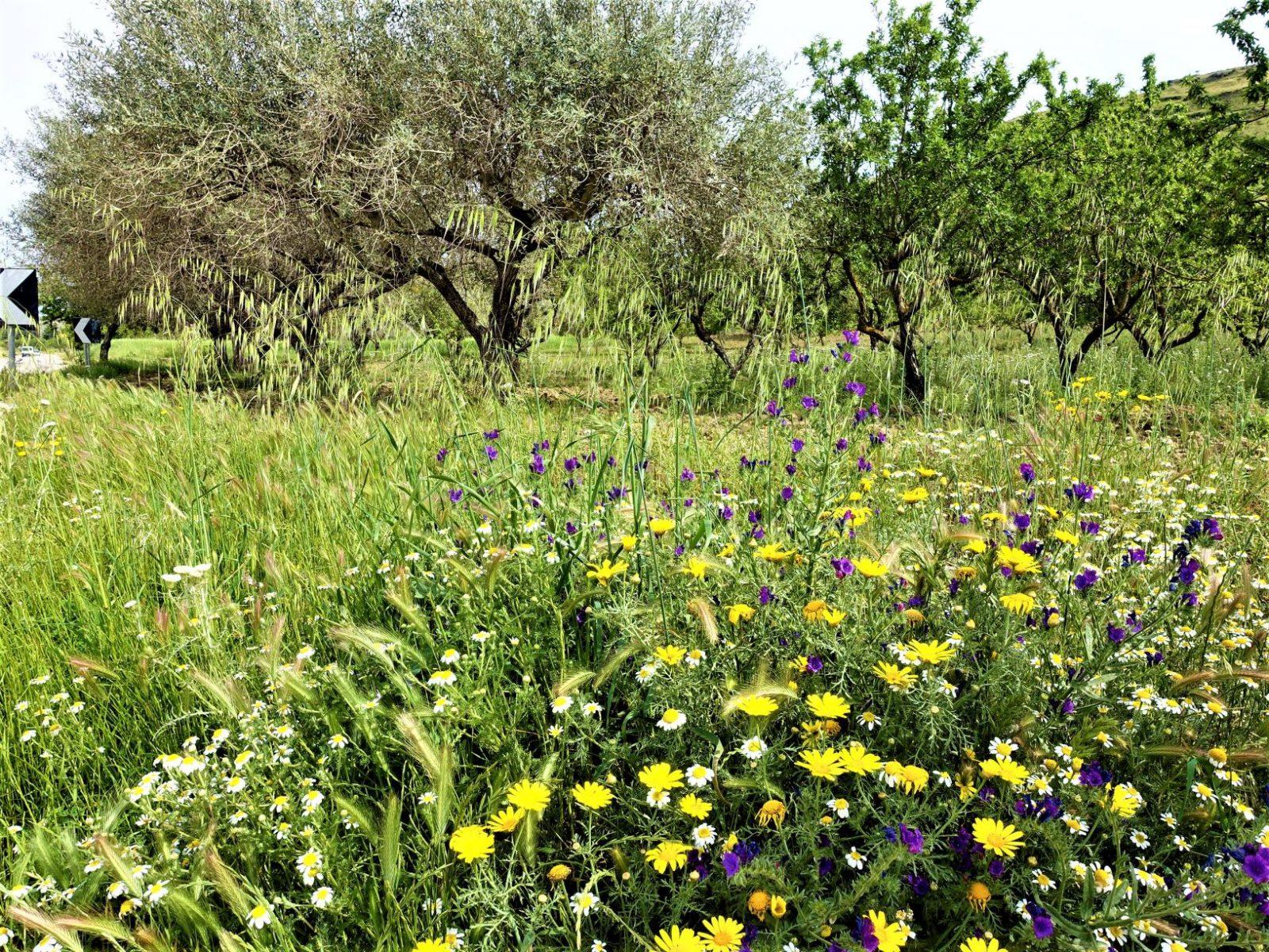 Blomstereng Sicilia