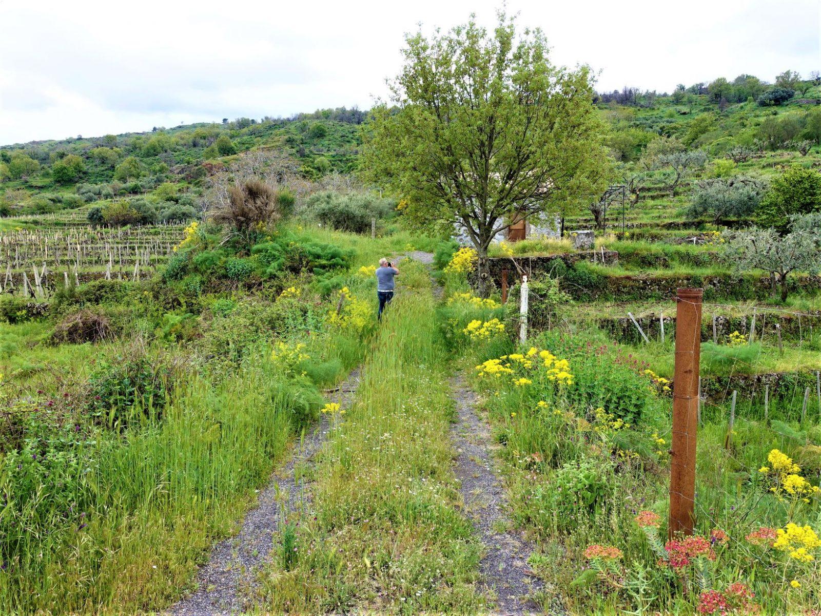 fjellet i catania blomster og vinranker