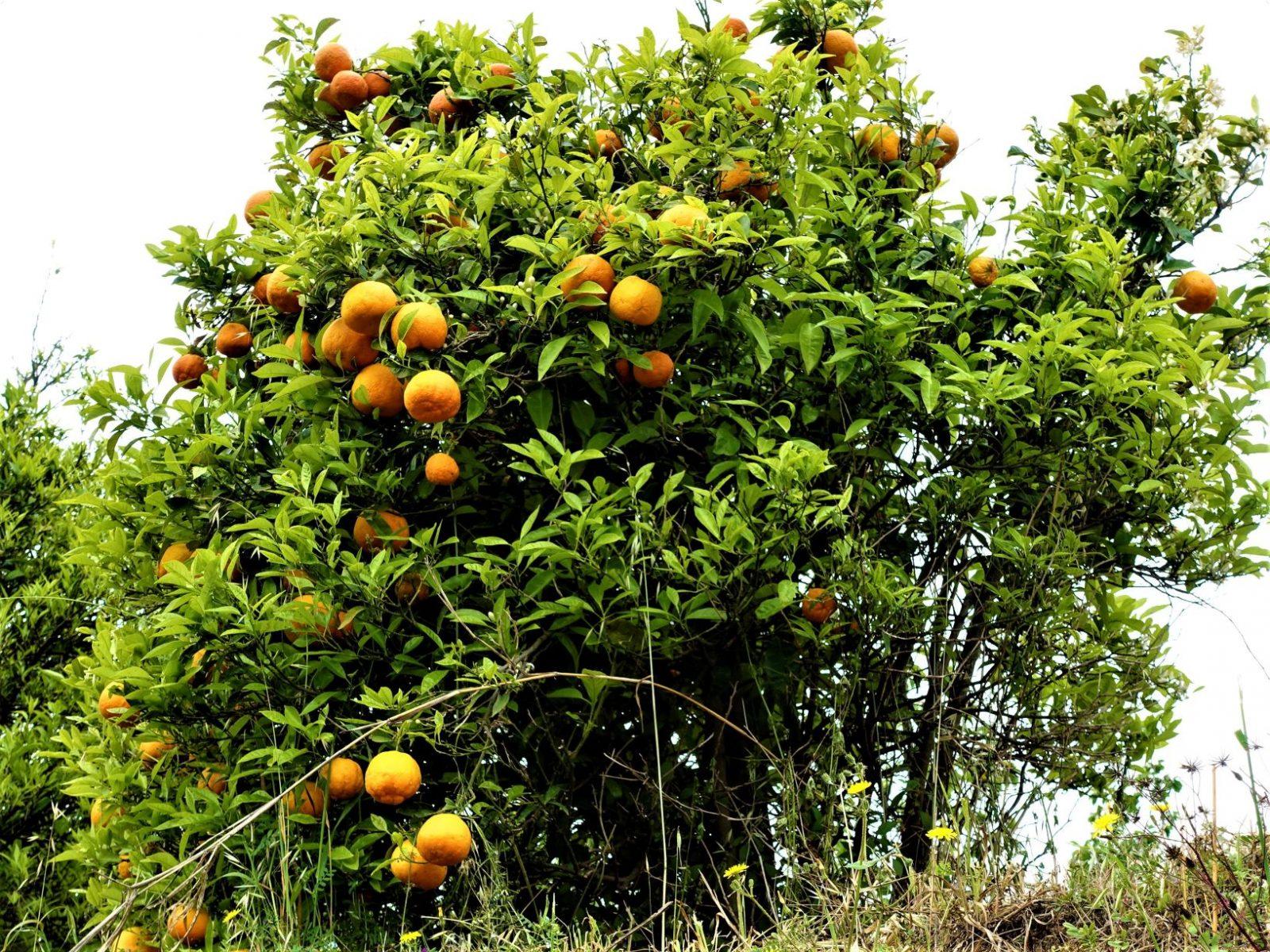appelsintrær Sicilia