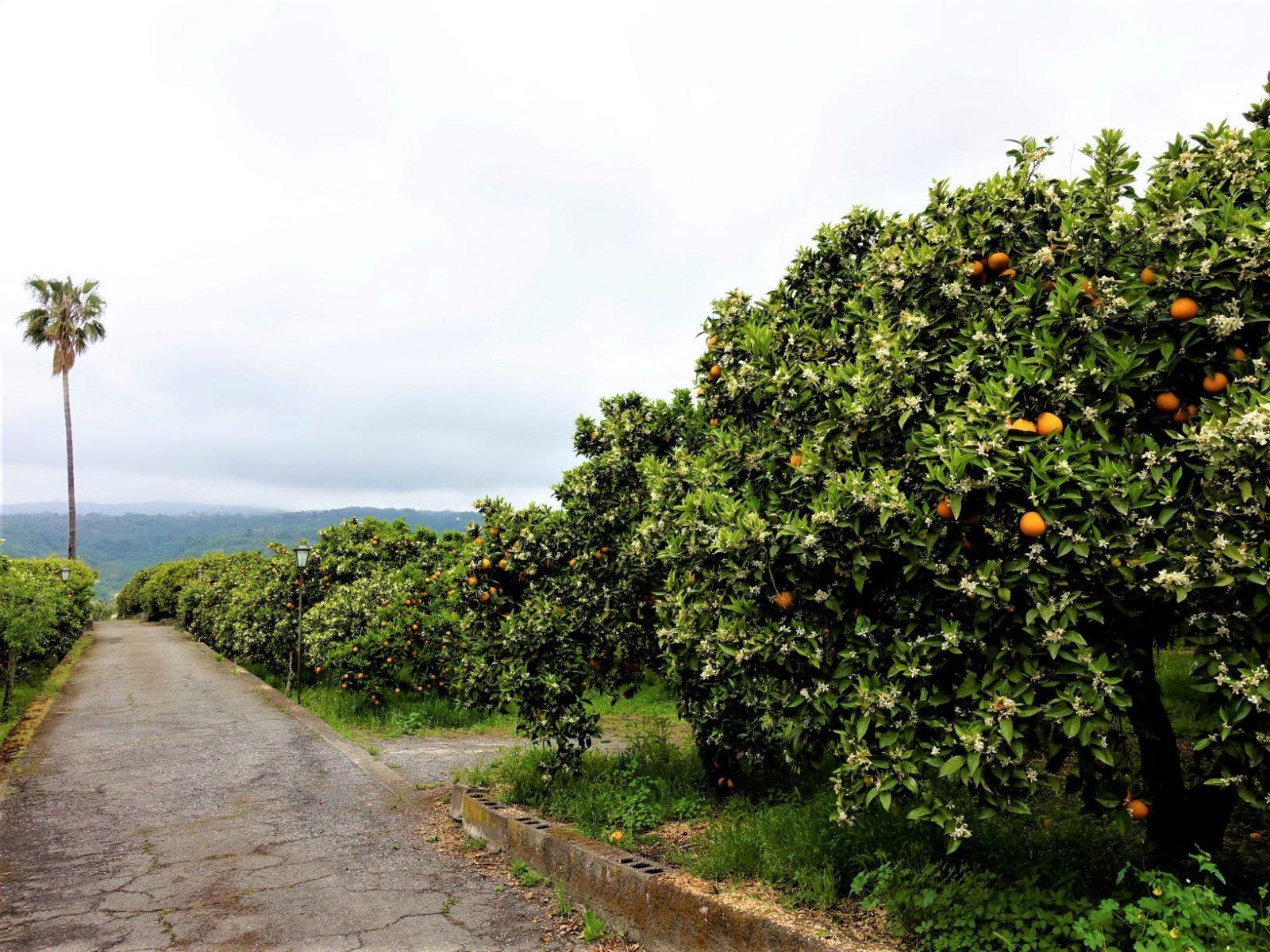 appelsintrær på Sicilia