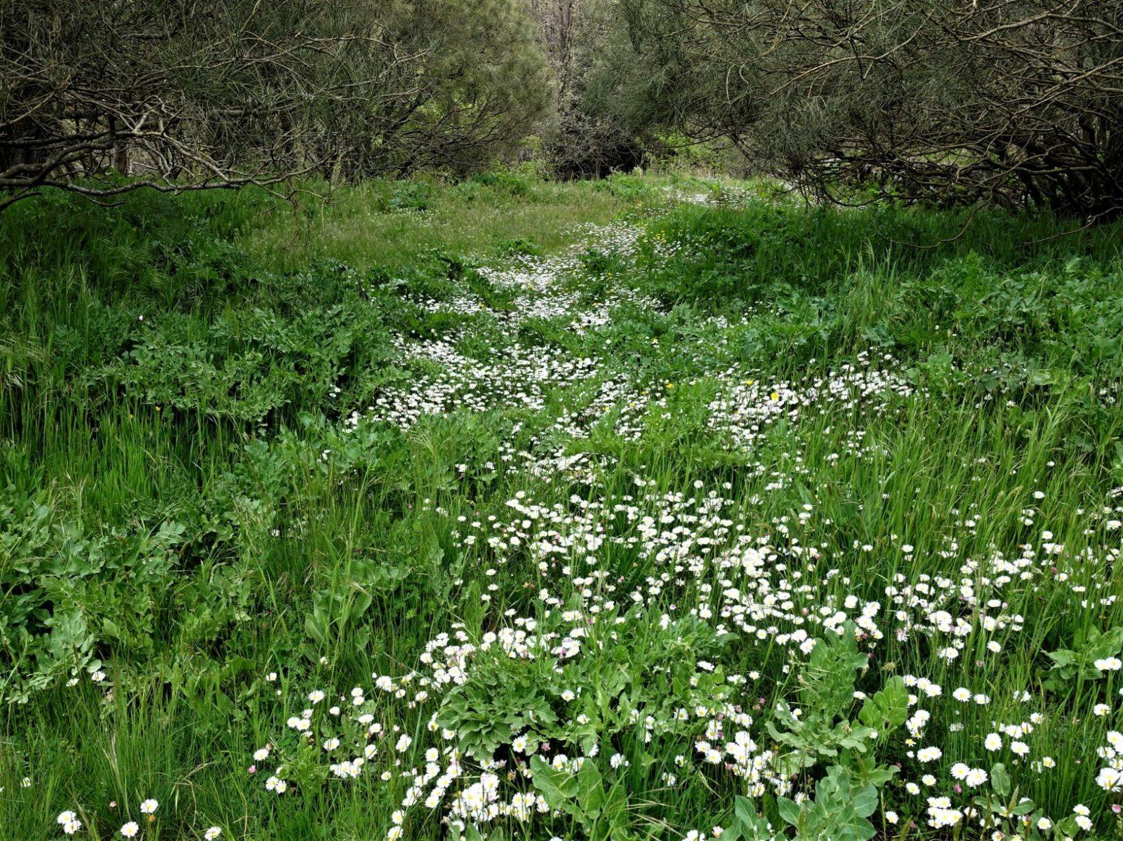 hvite blomster Sicilia