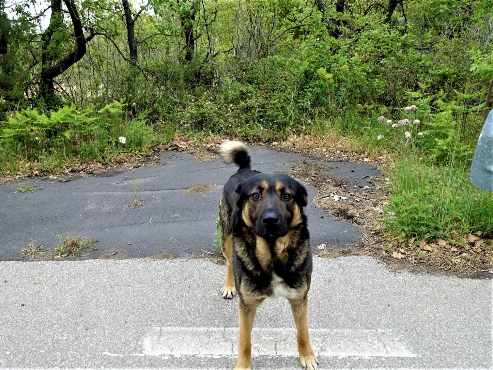 Løshund på Sicilia ikke klapp løshunder