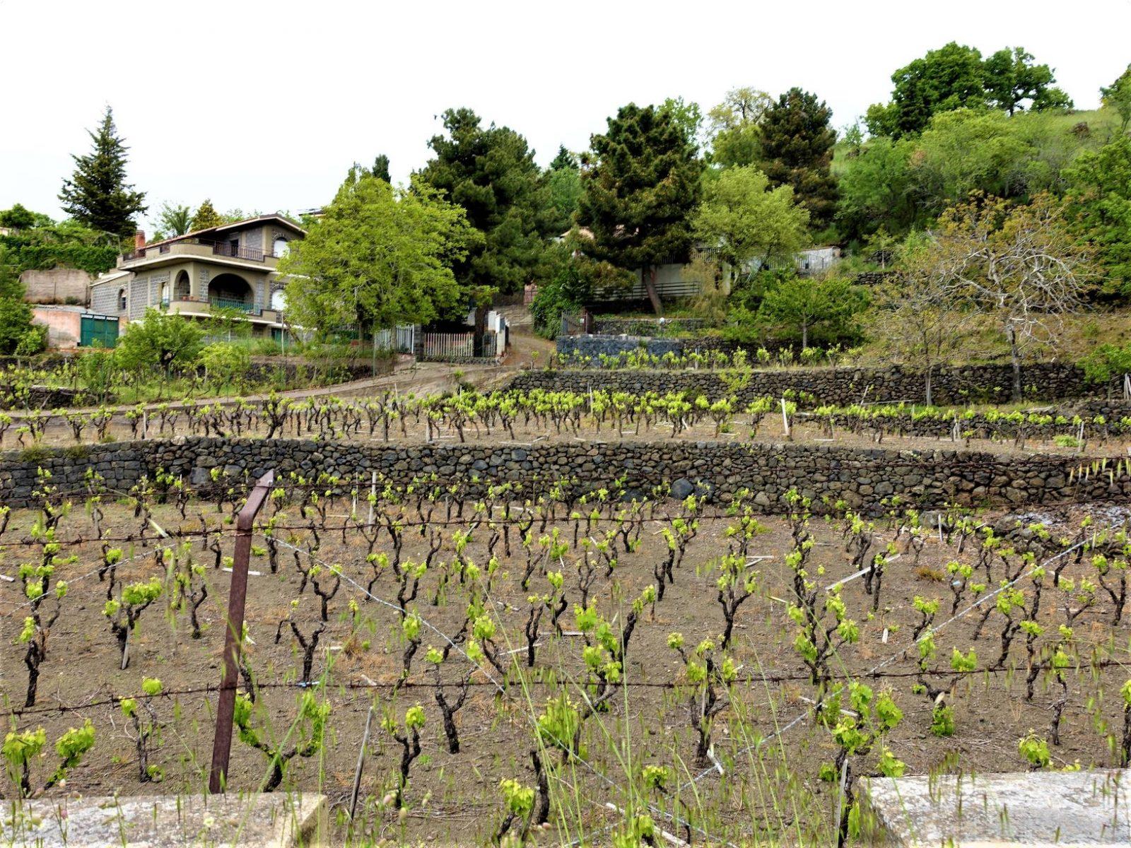 Vinranker ved Etna