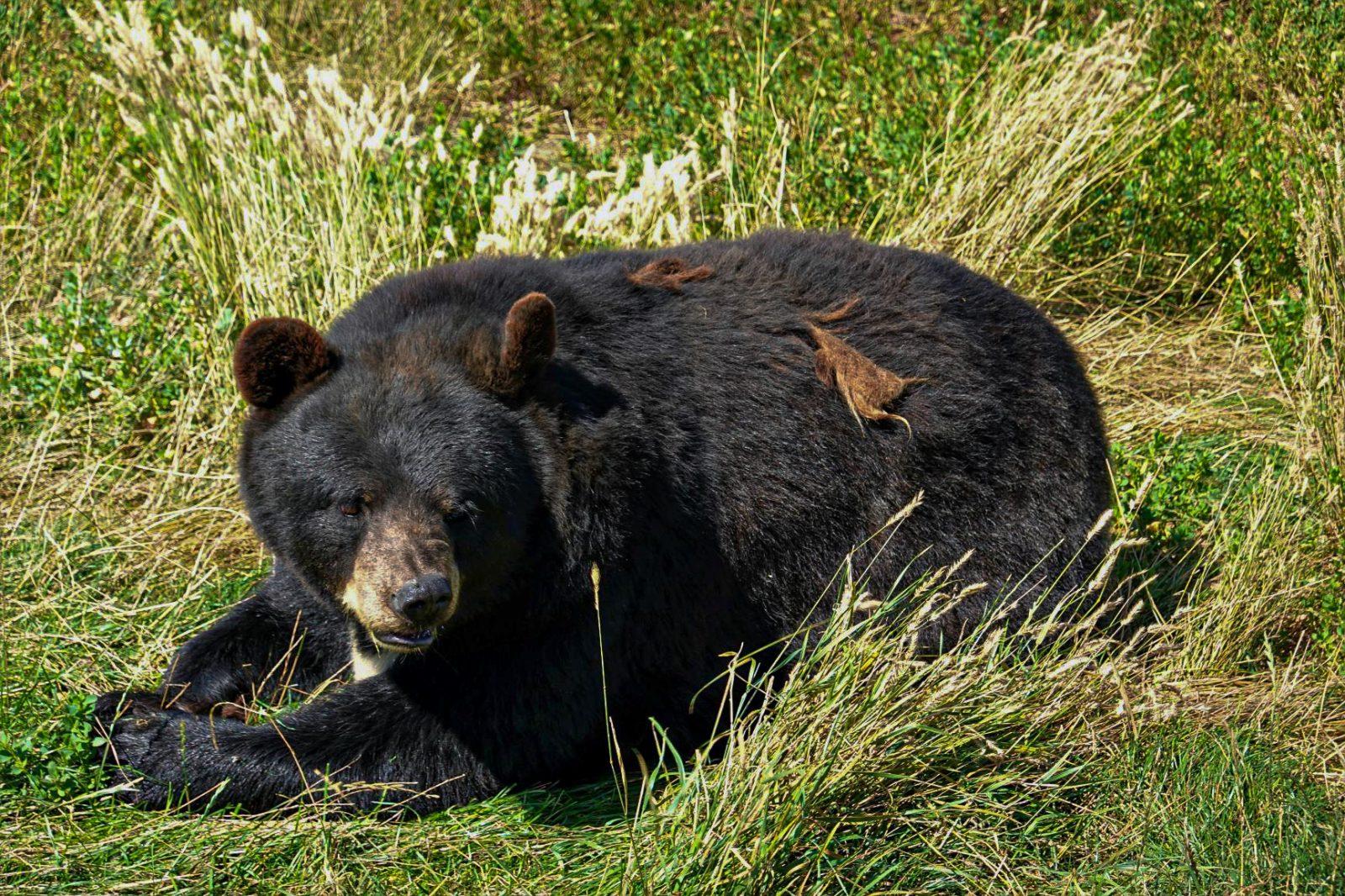 svartbrjørn i dyreparken i bear country