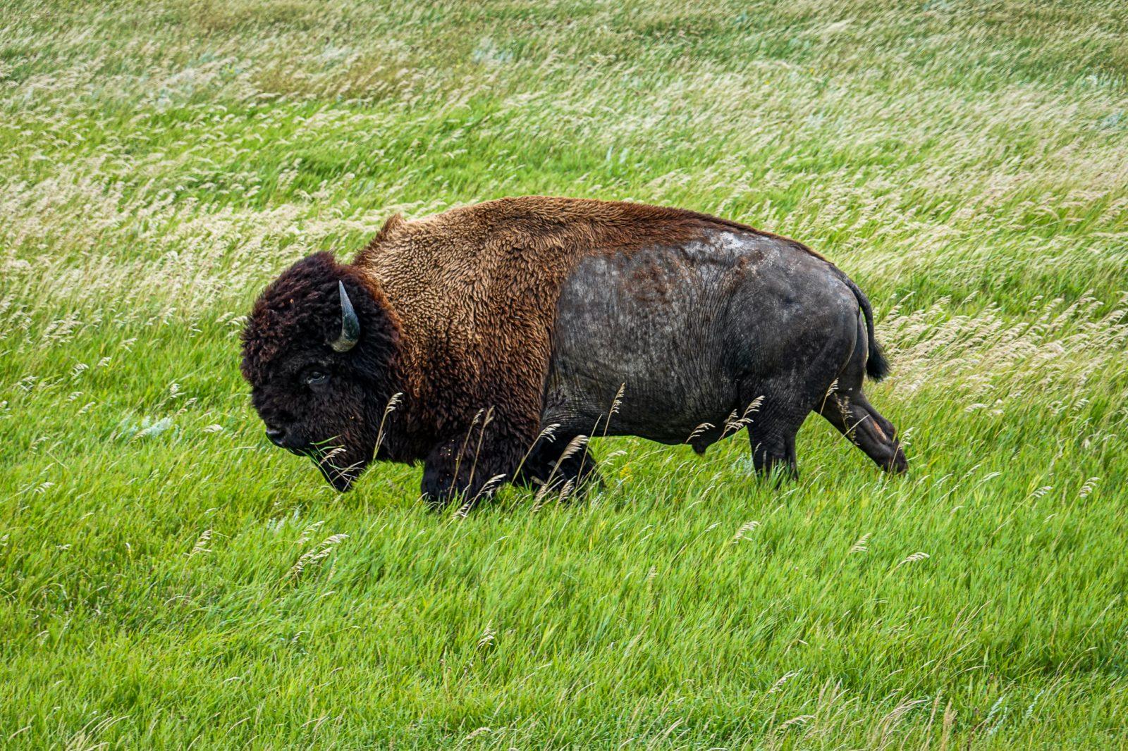 bison i badland nationalpark usa
