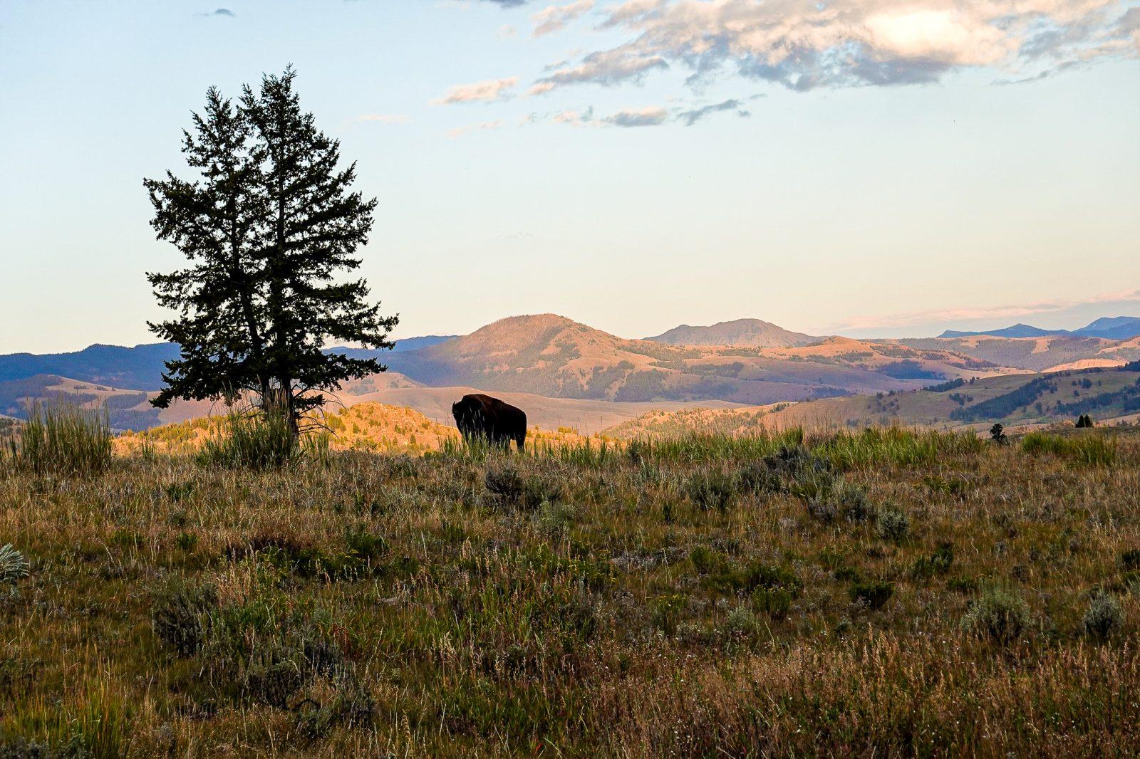 solnedgang og bison i yellowstone