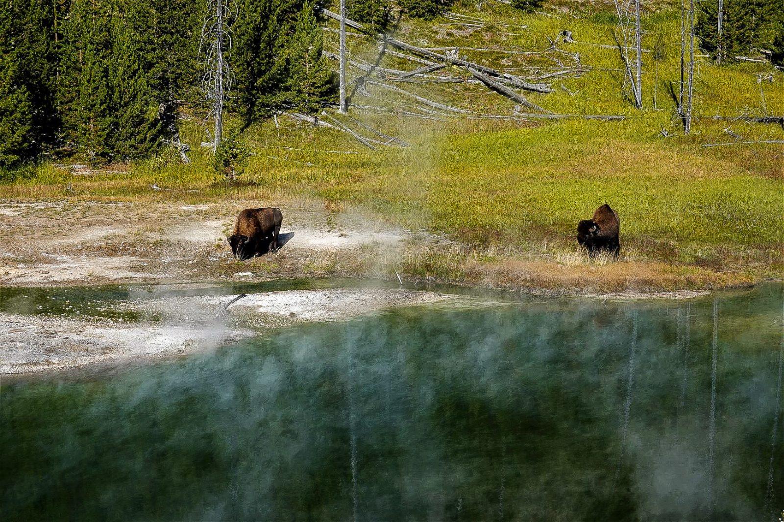 varme kilder og bison i yellowstone