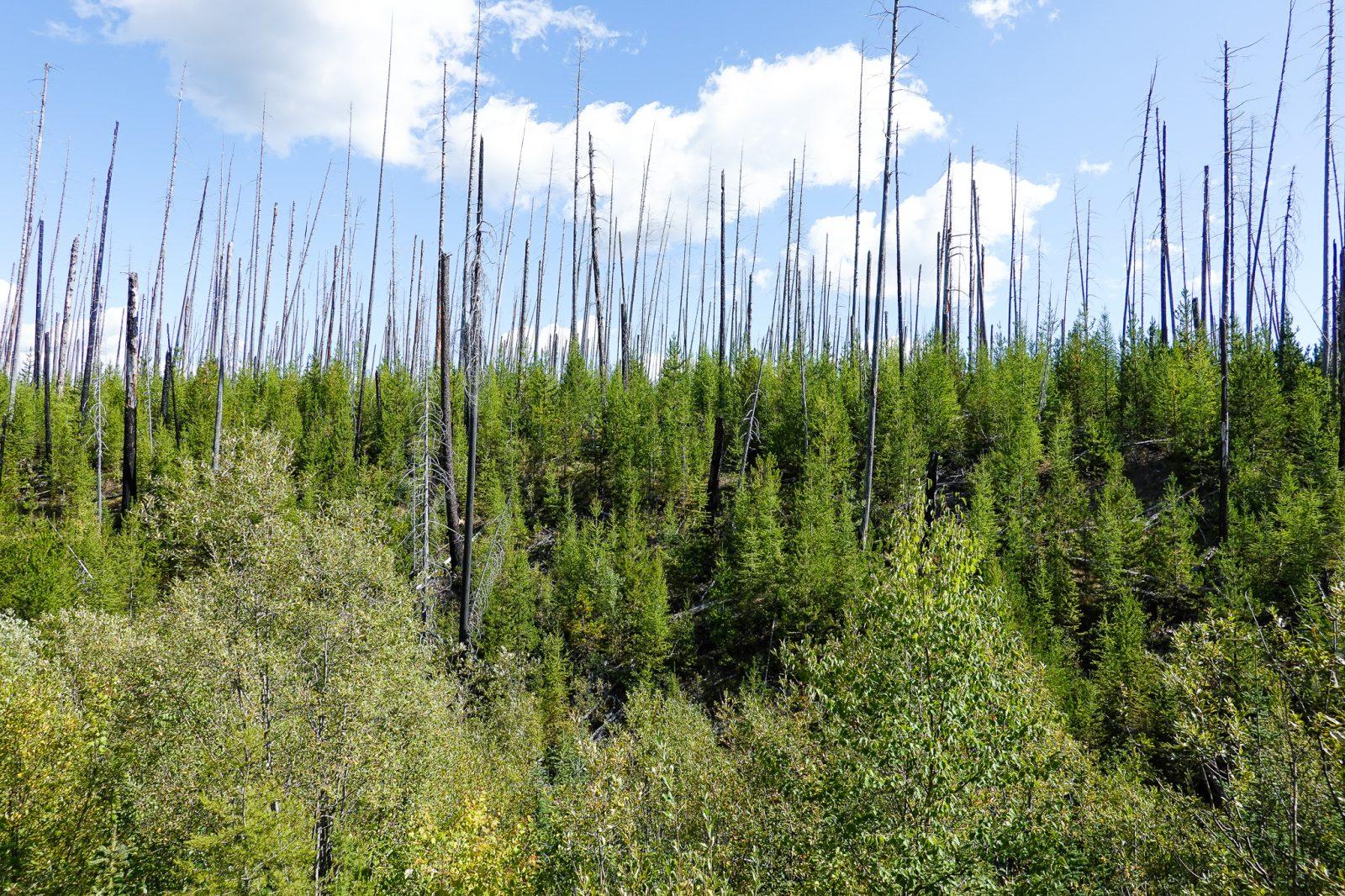 økosystemet skogsbranner i usa