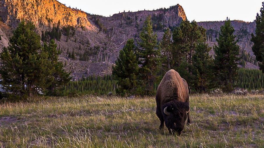 bison og solnedgang i yellowstone