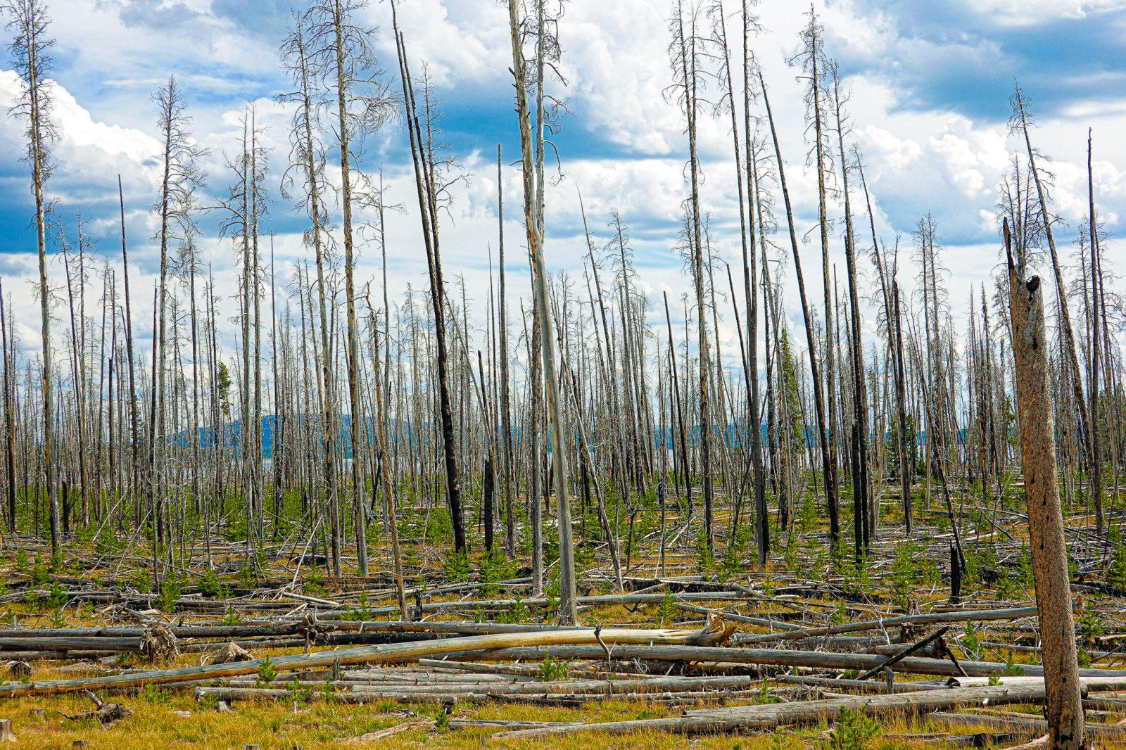 skogsbrann i yellowstone