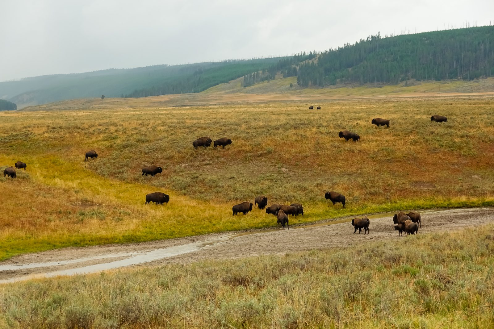 Bison flokk i teton nationalpark
